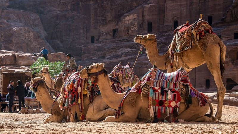 Camels at Petra, Jordan - Oceania World Cruises