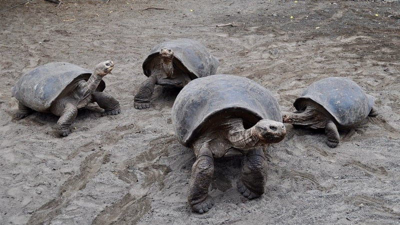Galapagos tortoises - When to Cruise to the Galapagos