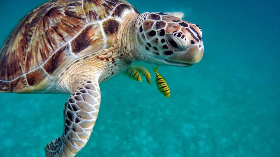 Sea turtle in the Maldives