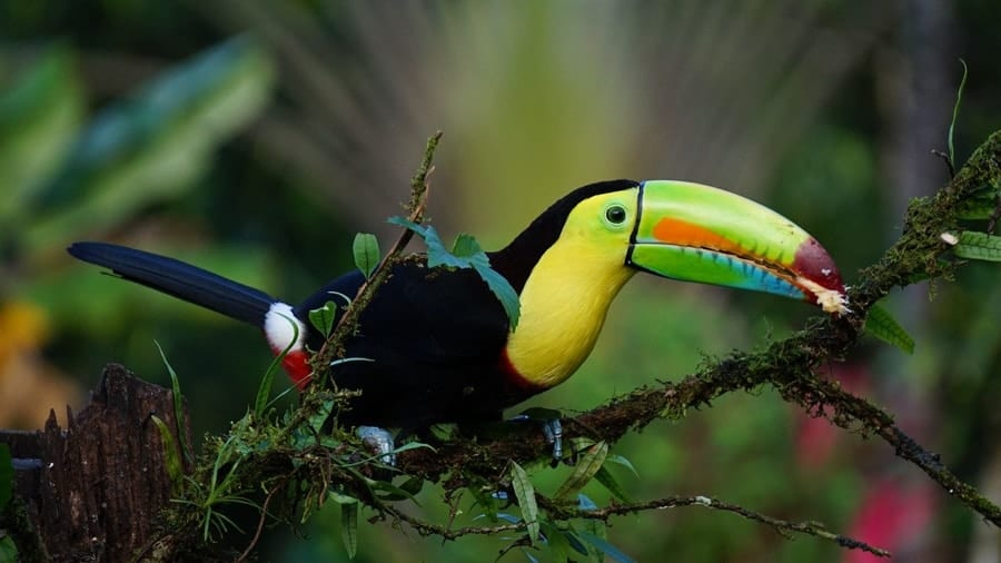 Toucan in Costa Rica Rain Forest - Cruise to Costa Rica