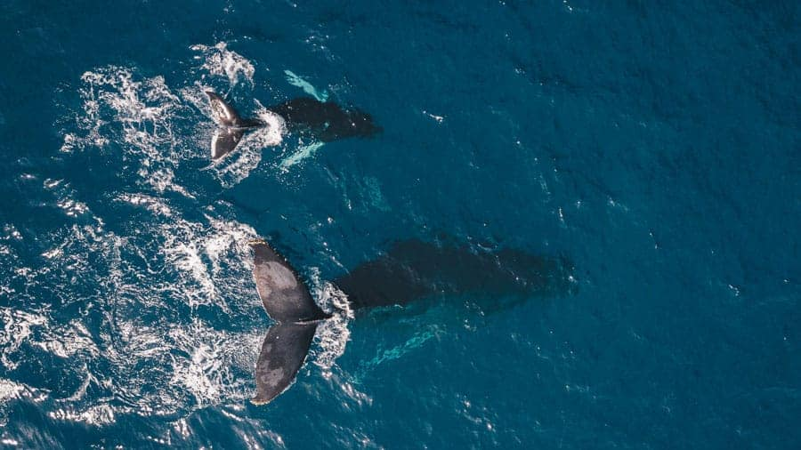 Humpback whales in Maui - Best things to do in Hawaii