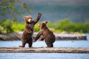 Brown bears playing in the water.