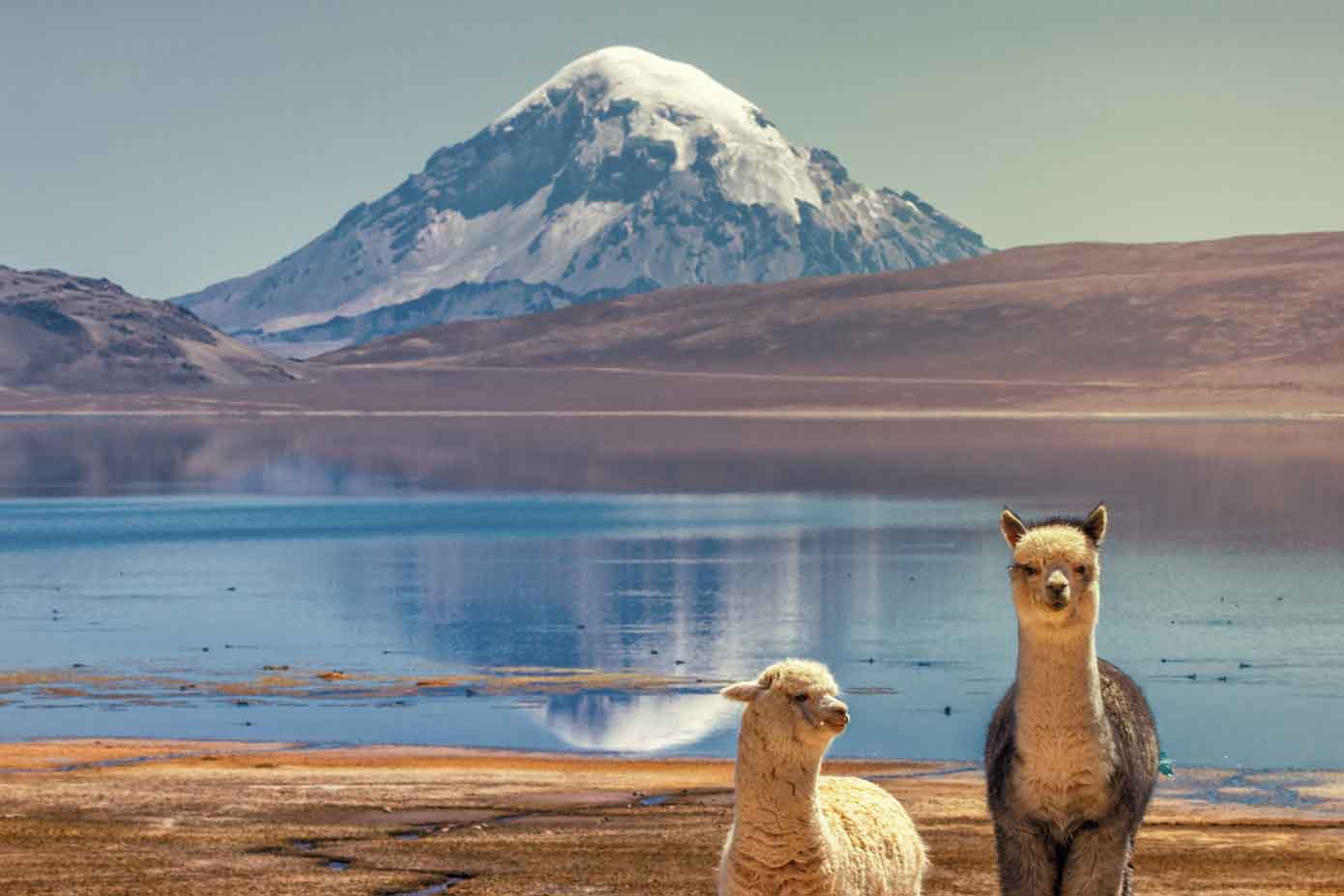 Alpacas on the shore of a lake at the base of a volcano.
