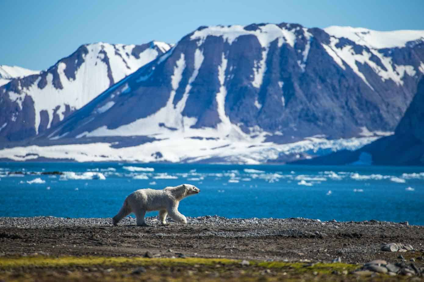 Polar bear walking in Svalbard with the ocean and mountains in view.