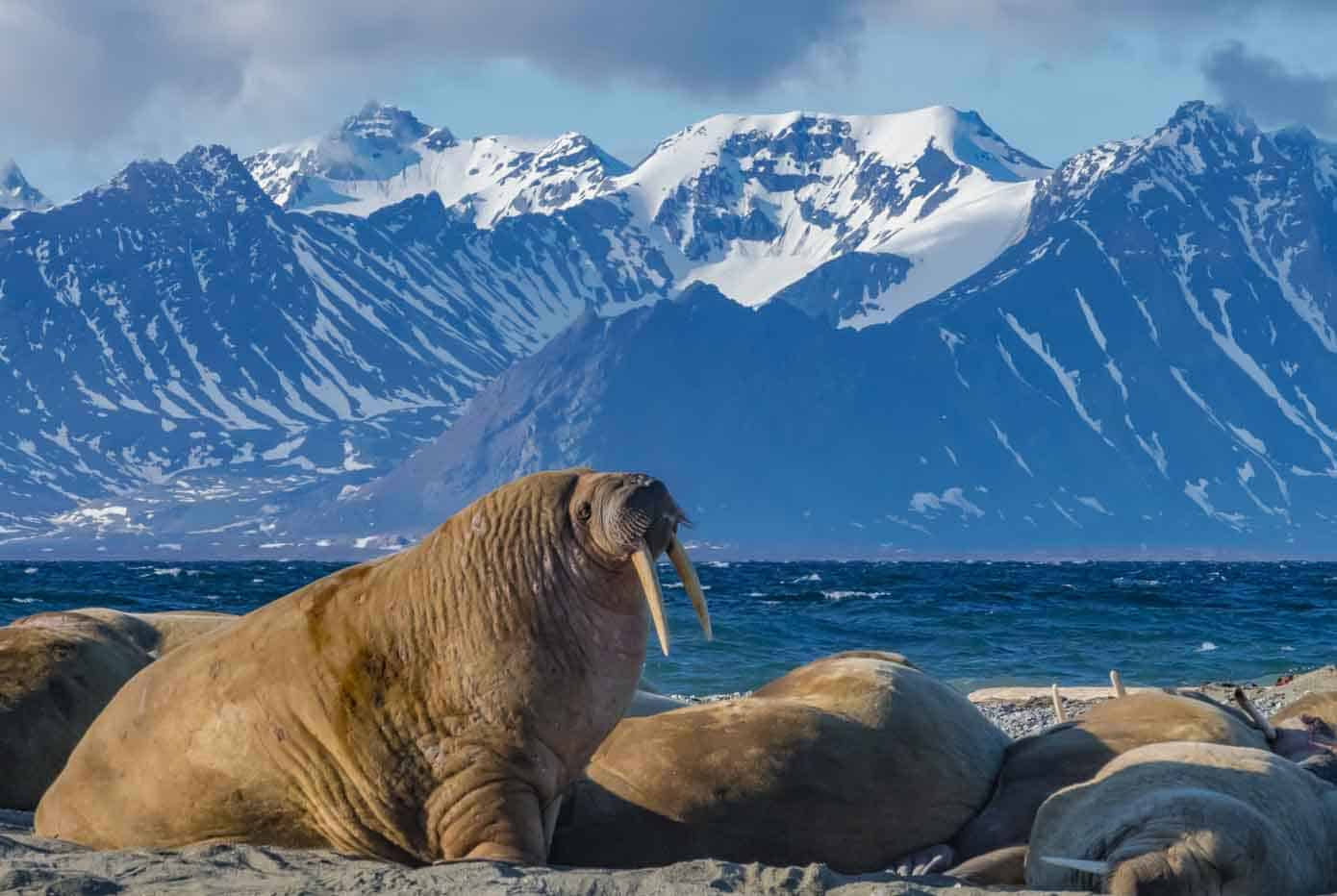 Walrus bull on a beach with ocean and mountains in the background in Svalbard.