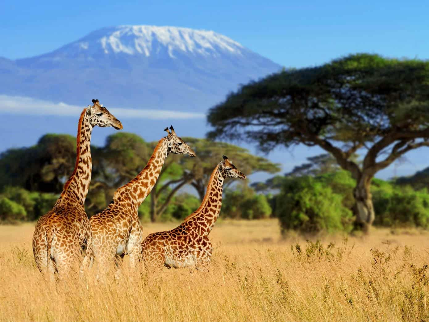 Three giraffes in the wild on an African safari tour. Mount Kilimanjaro visible in the background.