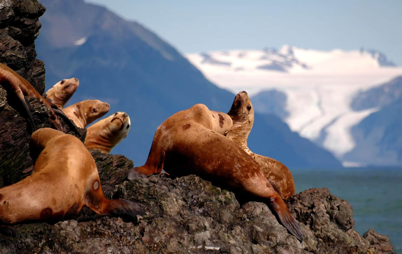 Stellar sea lions seen on a cruise in Seward, Alaska.